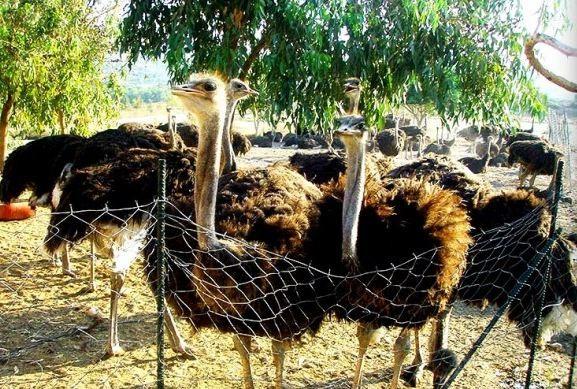 Страусиная ферма на острове Родос