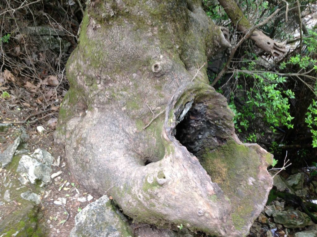 Дерево в Заповеднике Семь источников на острове Родос