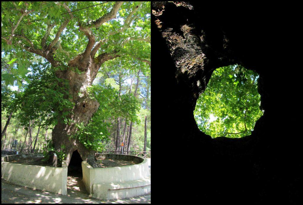 Платан с дуплом в монастыре Святого Нектария на острове Родос