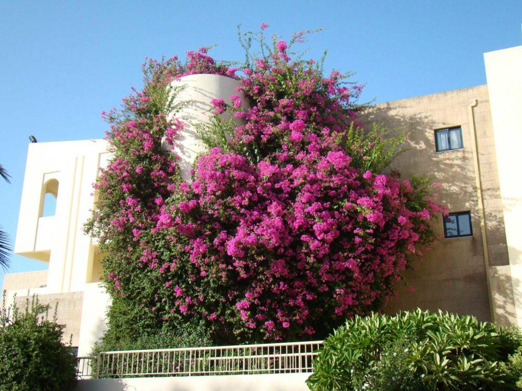 Знаменитые цветущие кустарники острова Родос